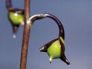 CIP_Utricularia