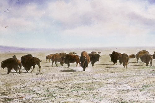 PLES SUNCA_Buffalo herd on prairie