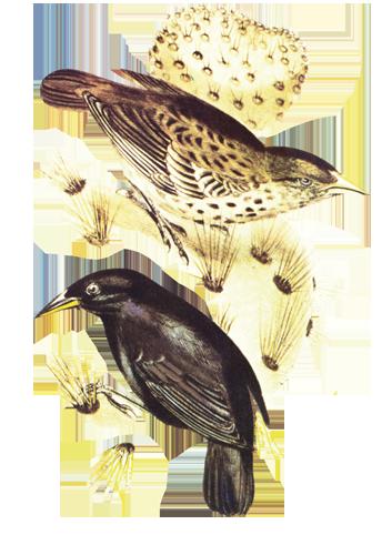 Ilustracije zeba koje je Darwin sakupio na otočju Galapagos. Proučavanje životinja na tom otočju odigralo je ključnu ulogu u razvoju Darwinove evolucijske teorije posredstvom prirodnog odabira.