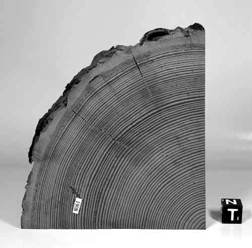 Drvo na kojem se vidi anomalija u godovima