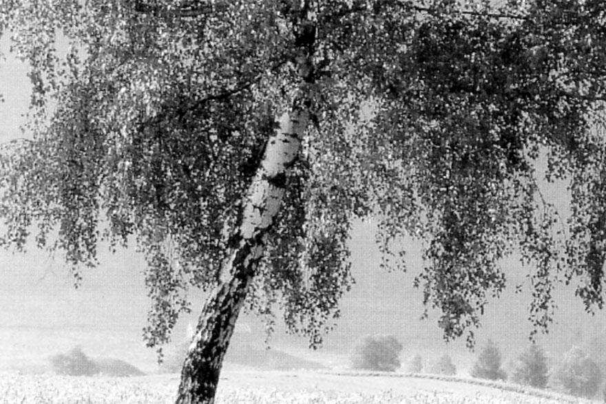 breza1-gray