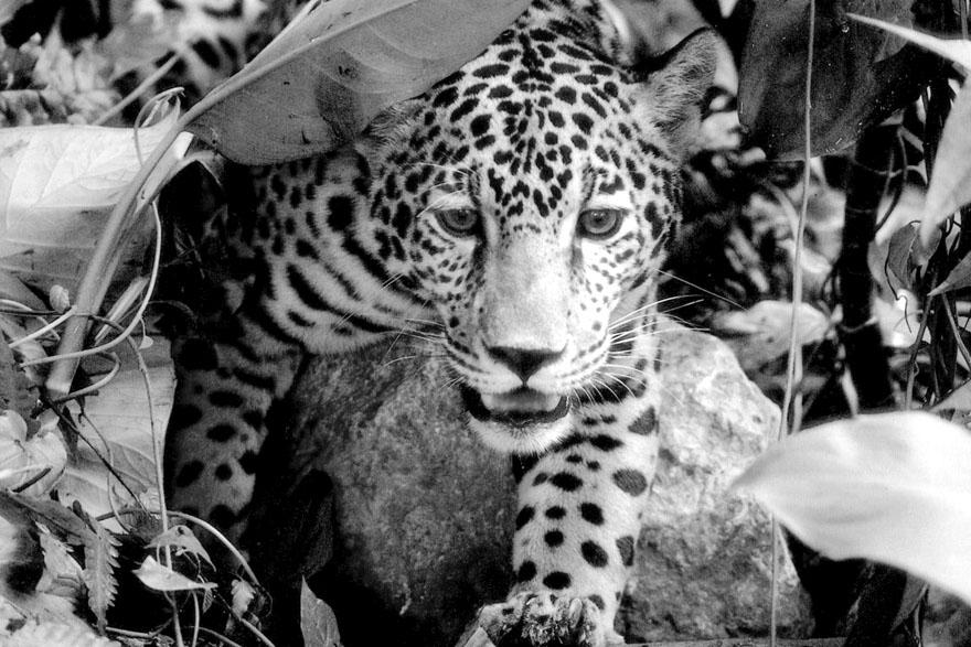 GEA_Jaguar_1