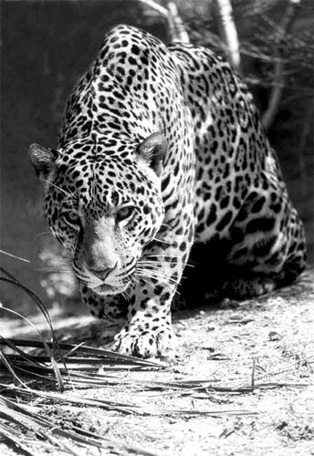 GEA_Jaguar_2