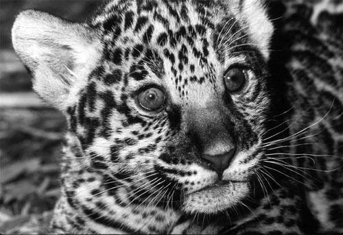 GEA_Jaguar_3_beba