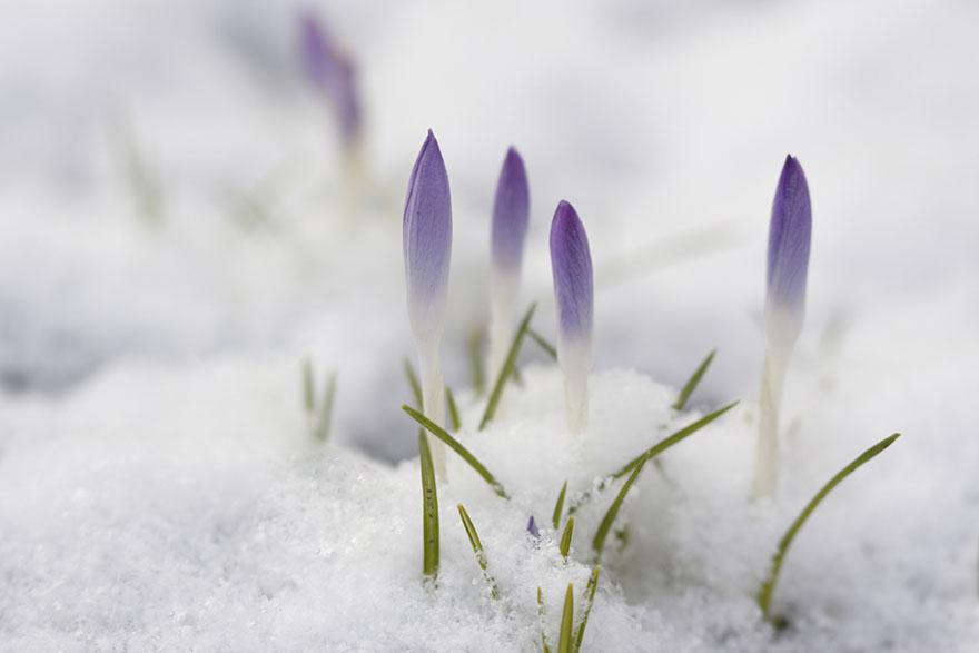 Šafran u snijegu