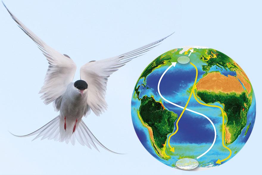 Migracije arktičke čigre