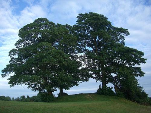 Sikomora - egipatsko stablo svijeta i života
