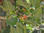 Plod drveta Banyan