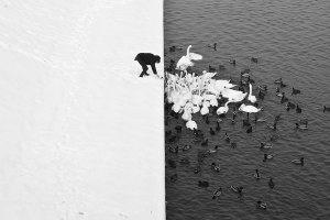 Čovjek hrani labudove