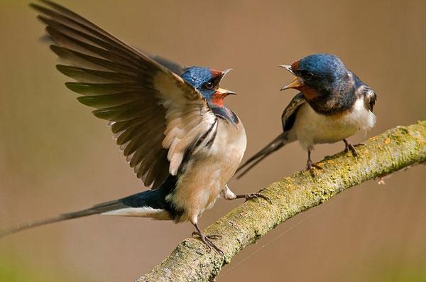 Ptice-svadja