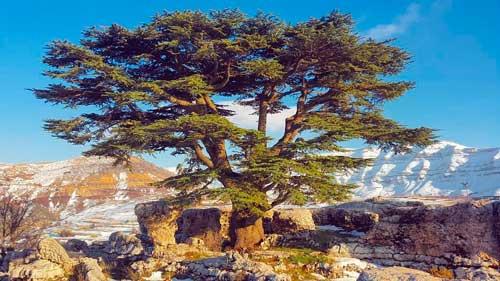 Kahlil-Gibran-libanonski-cedar