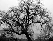 KP-zimska-prica-hrast