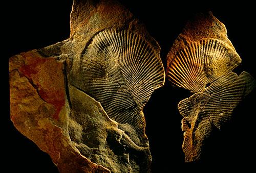 Fosili Dickinsonije