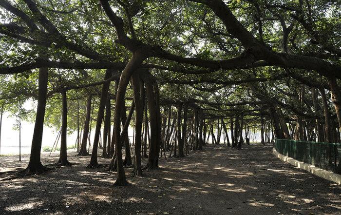 veliki-banjan-acharya-jagadish-botanicki_vrt