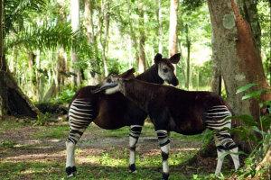 Okapi-virunga-nacionalni-park
